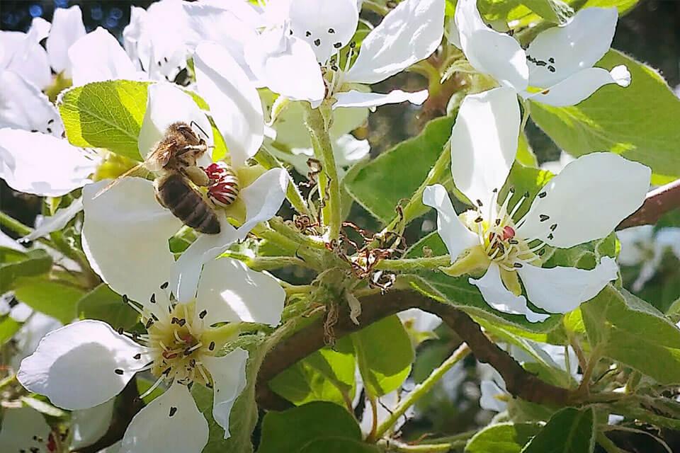 Biene-Apfelblüte-web